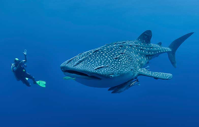 diving with whale shark philippines