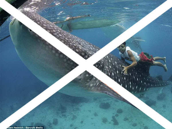 swim with whale sharks in the philippines